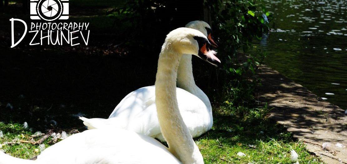 Парк Бачиново, Благоевград - белите лебеди