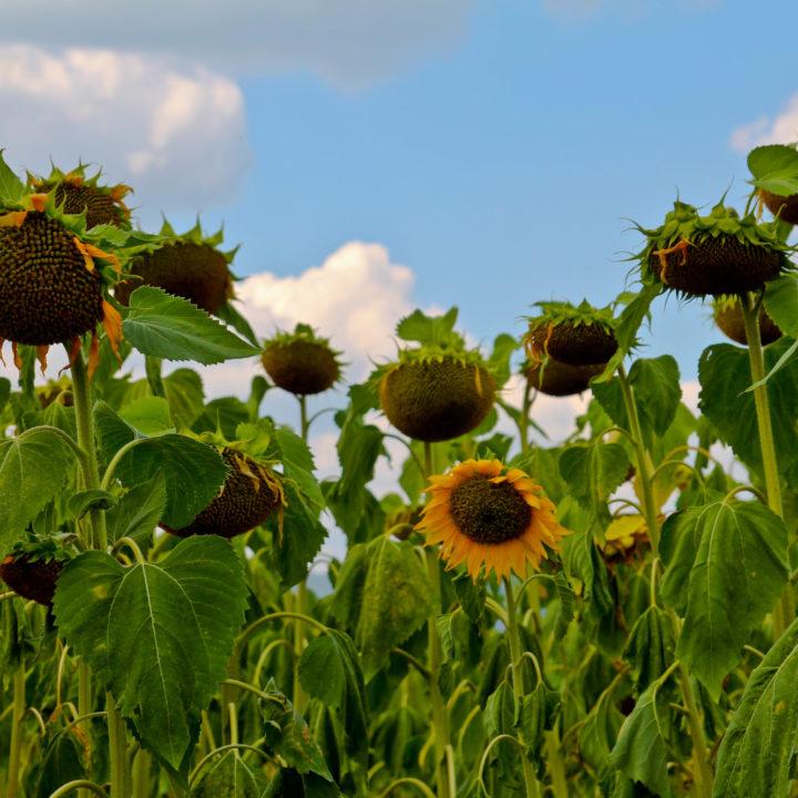 Слънчогледово поле