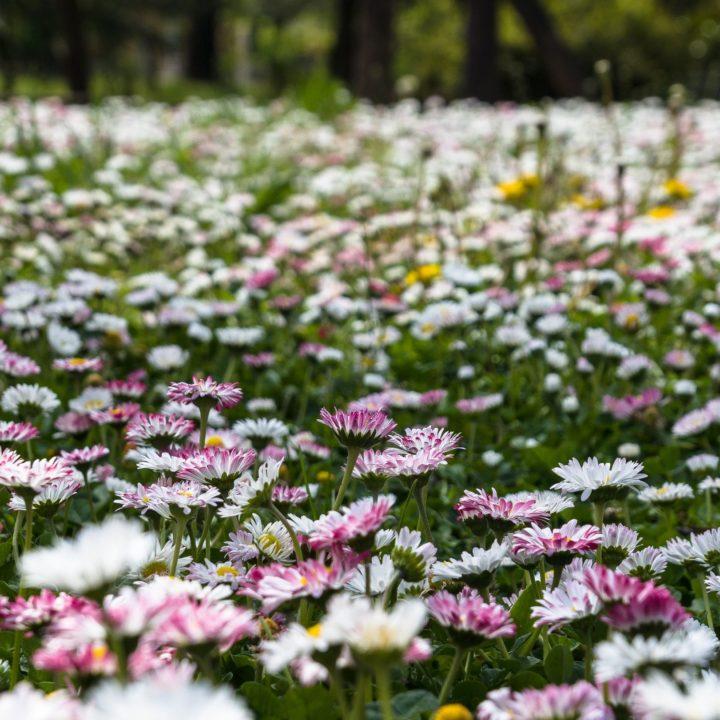 🌸🌼 Пъстра градина от МАРГАРИТКИ ...